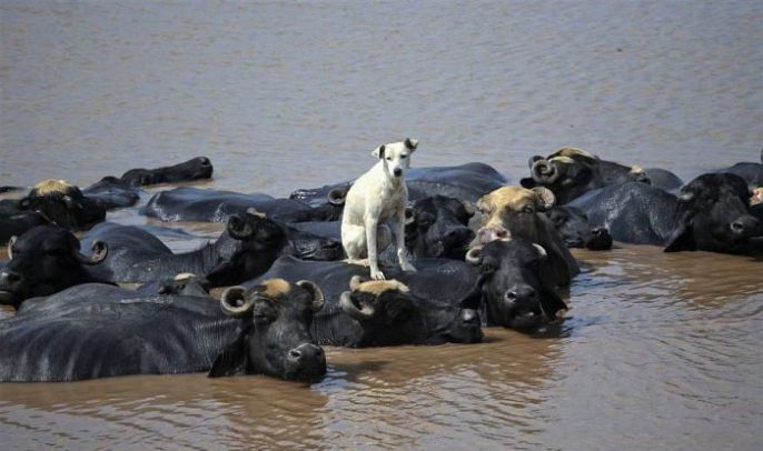 Dog Sits On Water Buffalo