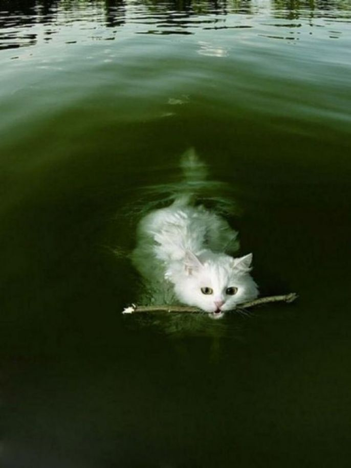 Swimming, fetching kitty
