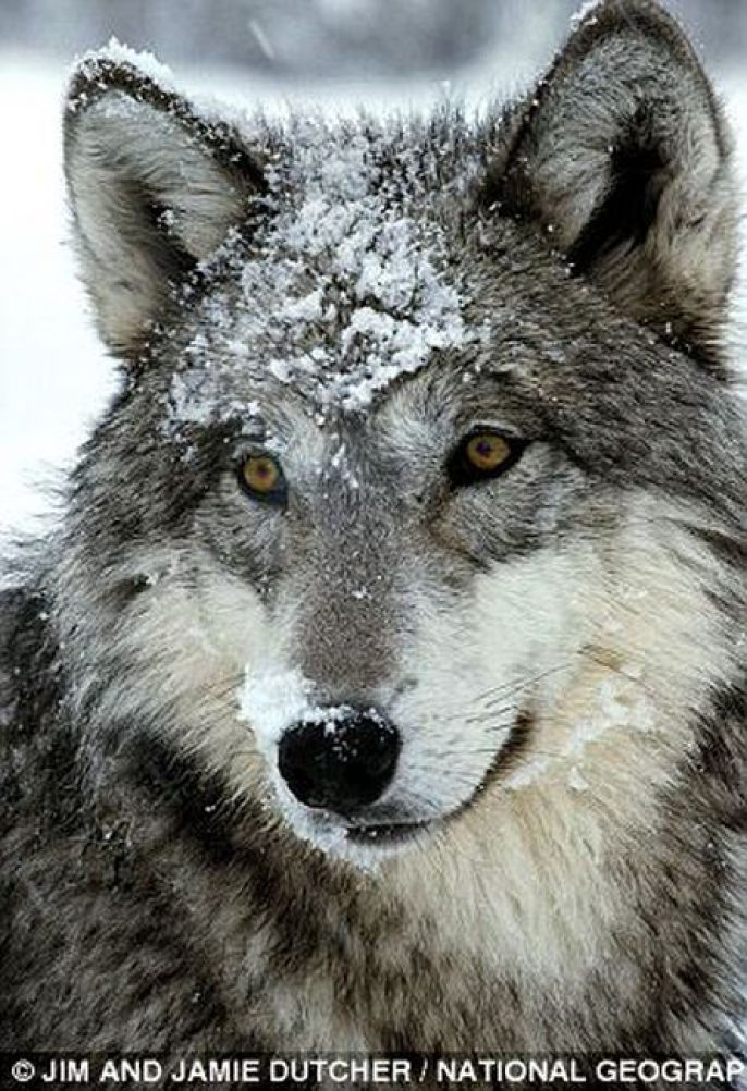 Wolf Covered in snow