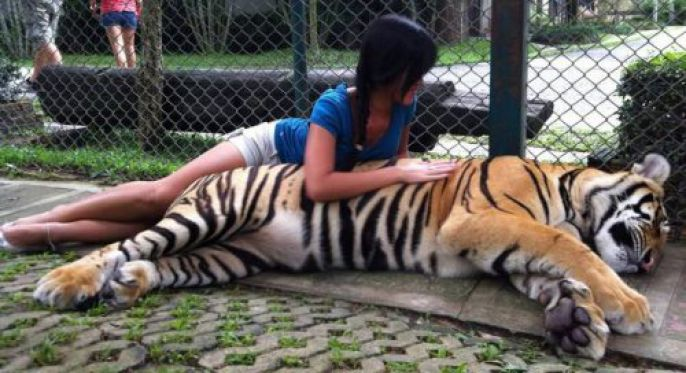 Laying with a tiger