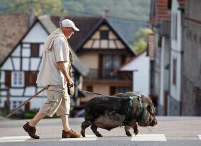 Walking his pig