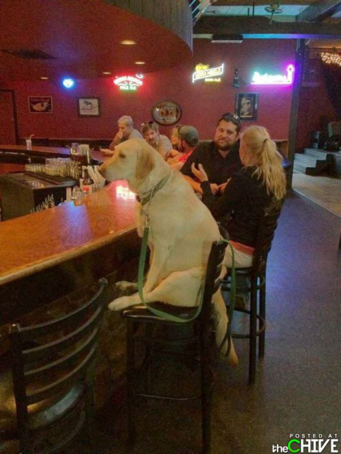 Lab at the bar
