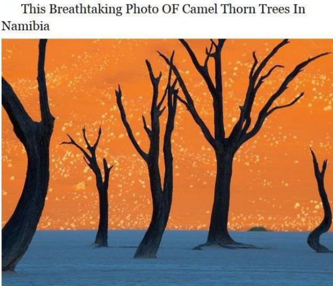 Camel Thorn Trees