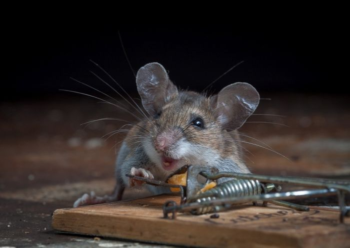 Mouse Holding Down Pin in Mouse Trap