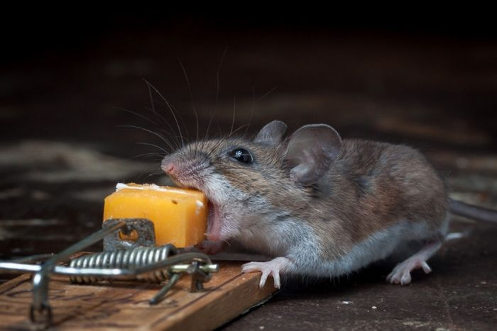 Mouse Getting His Fill Of Cheese