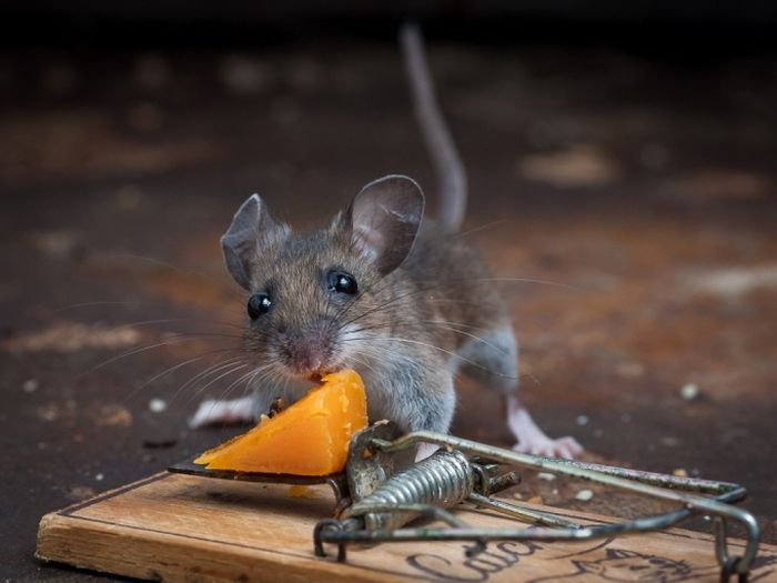 Smart Mouse Getting a Full Meal