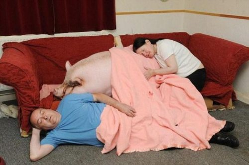 Family Napping With Pig