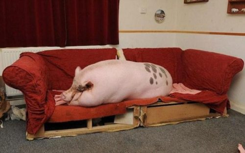 Huge Pet Pig On The Couch
