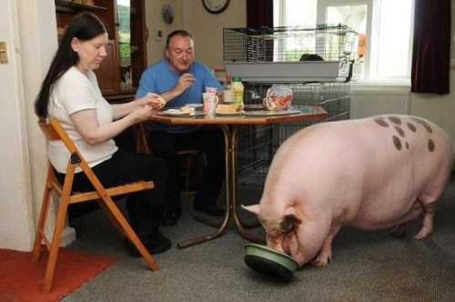 Giant Pig Eating Dinner