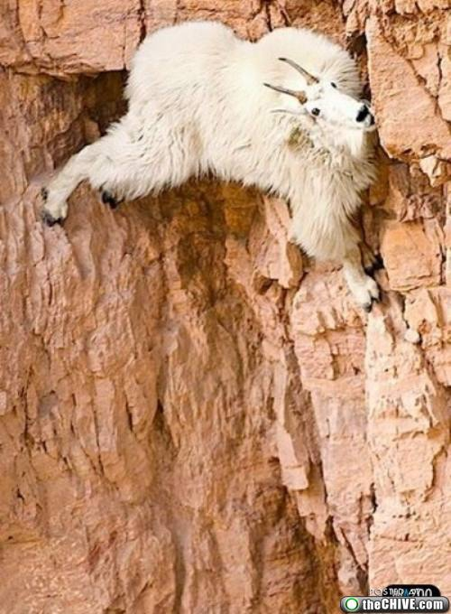 Goat Stretching and Climbing