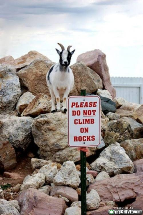 This Goat Gives No F*cks