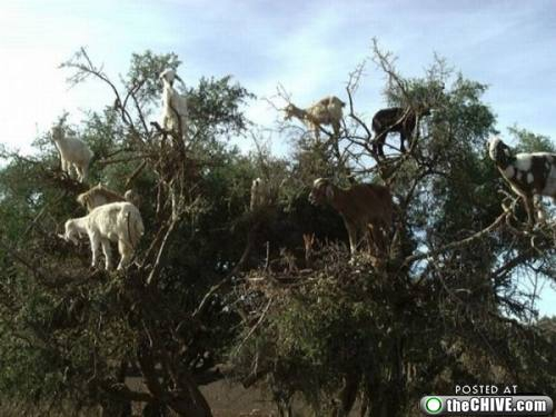 Mountain Goats In A Tree