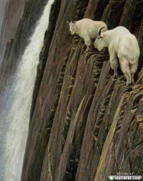 Mountain Goats On A Cliff
