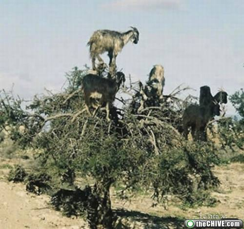 Goats Love To Climb