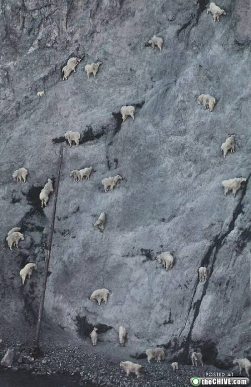 Mountain Goats Headed Up A Cliff