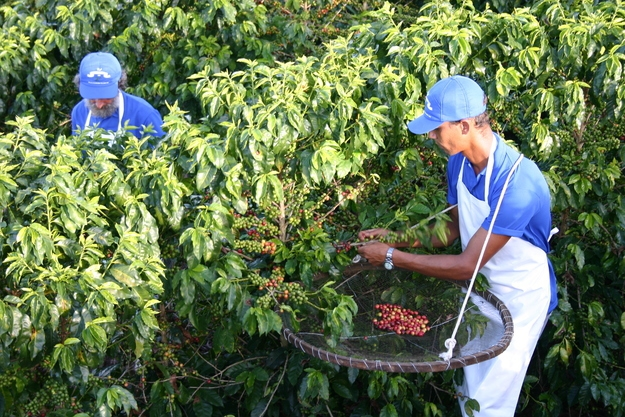 16. Brazil grows more coffee than any other country and is responsible for about a third of the world's coffee supply.