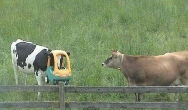 12 Funny Picture of Cows