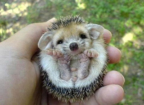 Cute Baby Hedgehogs