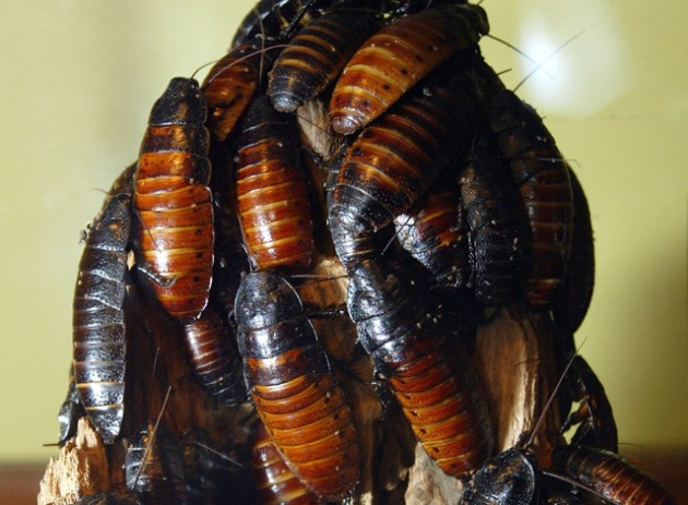 Man wins cockroach eating contest, dies.