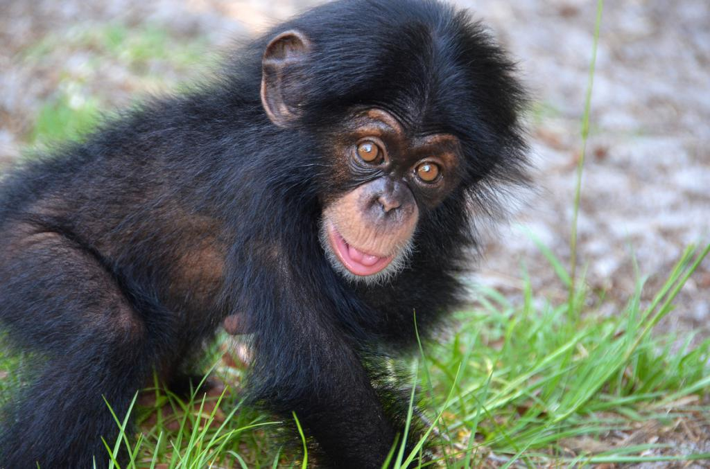 Baby Chimp Finds Home at Oklahoma City Zoo