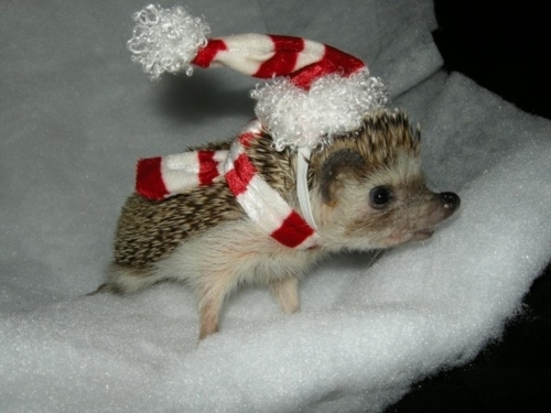Look at this hedgehog wearing a tiny hat.