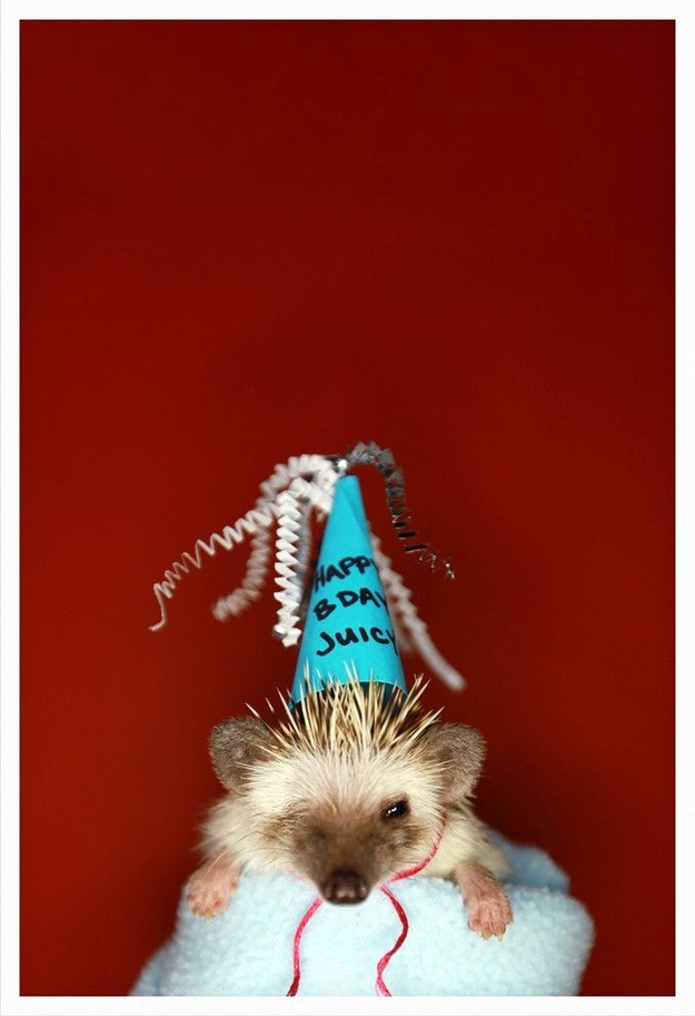You don't have to stick to just Halloween for dressing up your hedgehog!