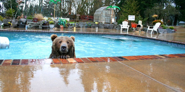 At Casey's wildlife sanctuary Brutus had more freedom to do bear stuff, like swim.