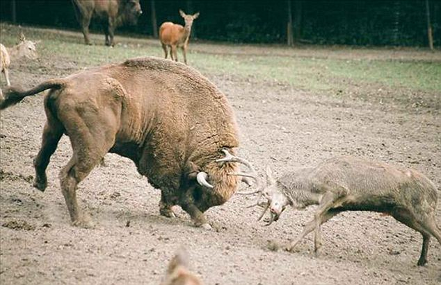 Deer Attacks a Bison