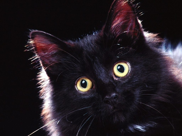 Many shelters don't allow black cats to be adopted around Halloween for fear that they may be tortured or sacrificed.