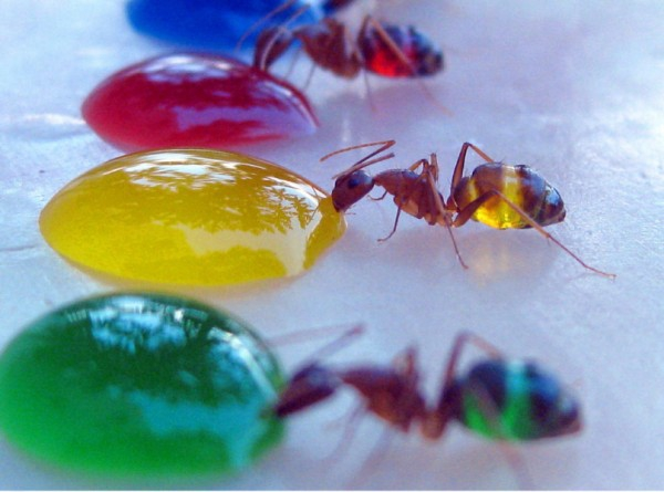 Colorful Ants
