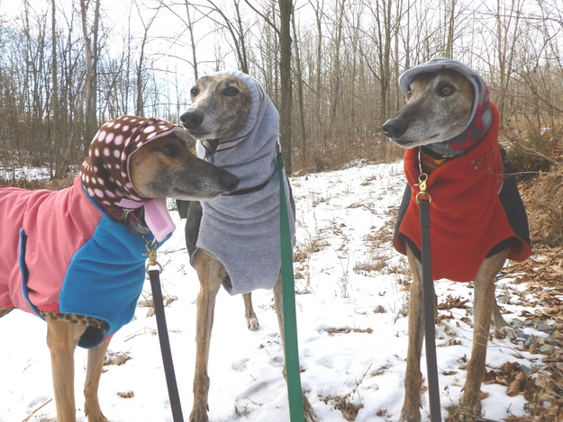 These Greyhounds are all Bundled Up For Winter