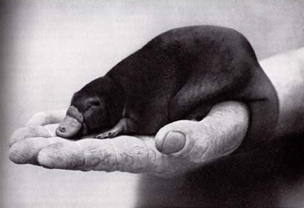 Pictures Of Baby Platypuses That'll Make Your Heart Melt от Veggie за 09 nov 2012