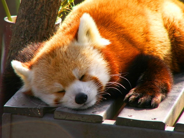 Cuteness ALERT!!! Red Pandas Taking Naps.