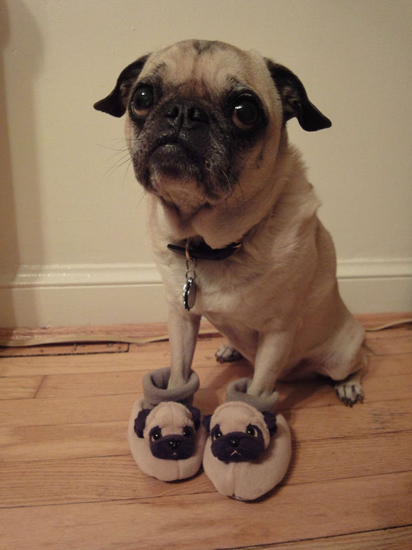Cute Pug Pictures You Will Definitely Love  от mick за 12 nov 2012