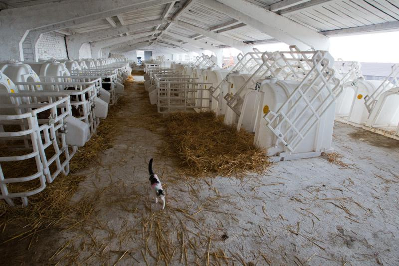 Cows and Milking Robots