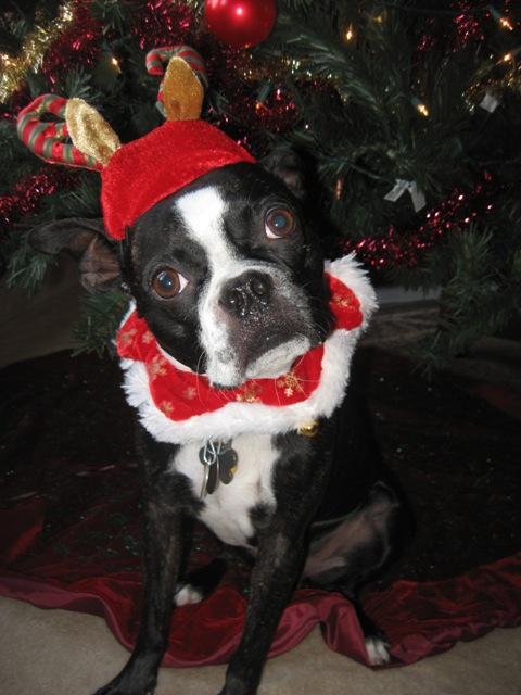 Boston Terriers Make Everything Better
