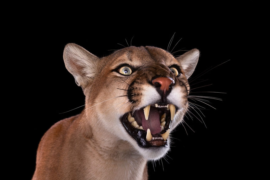 Incredible Studio Portraits of Wild Animals by Brad Wilson