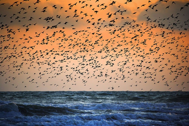 Breathtaking Murmurations of Starlings