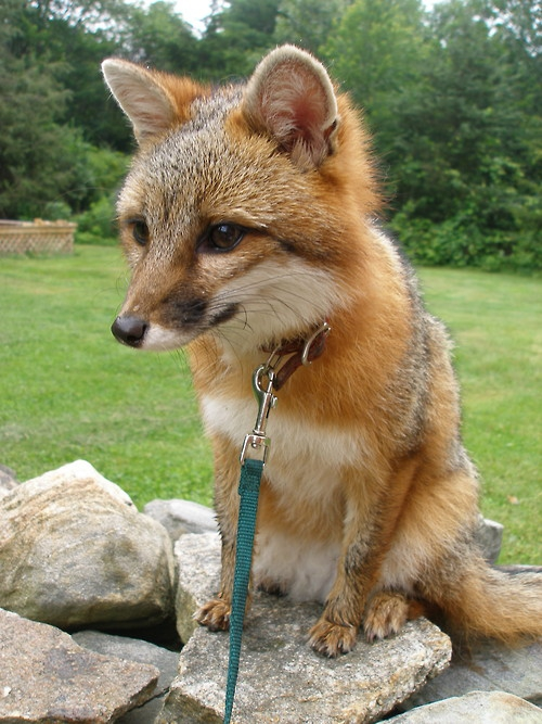 Pet Foxes Are Awesome!