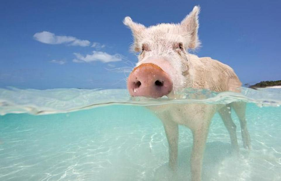 Swimming With Pigs
