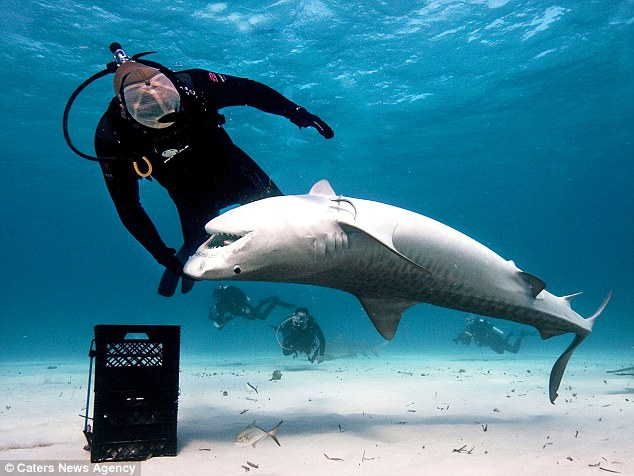 Charmer of Tiger Sharks