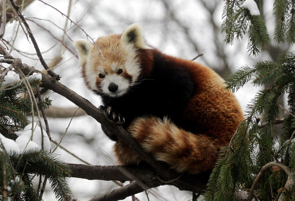 Red Panda Cuteness, A Definitive Ranking