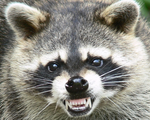 North Carolina's Rabies Scare