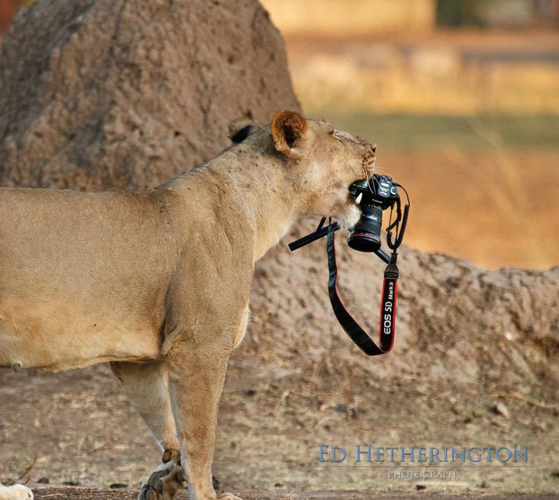 Photographer Has His Canon Kidnapped and Killed by a Lion
