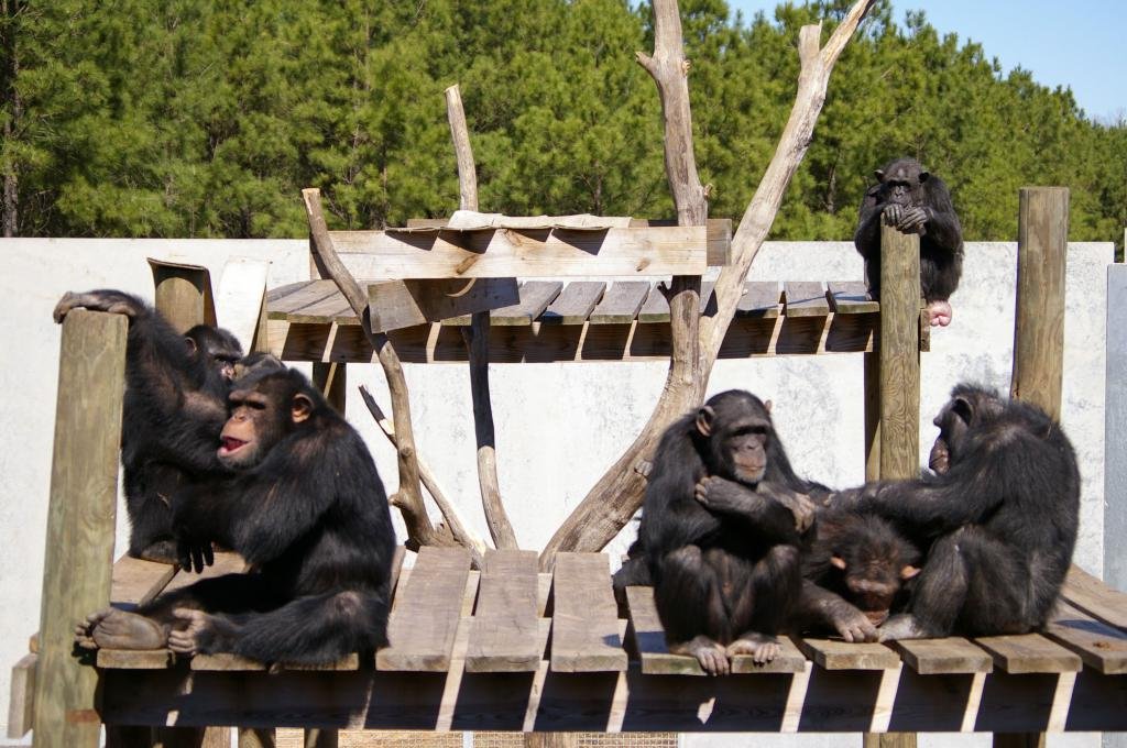 Happy Retirement for Research Chimps! Animal Rights Activists Rejoice!