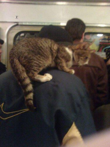 Cats Like to Be Around... Your Shoulder