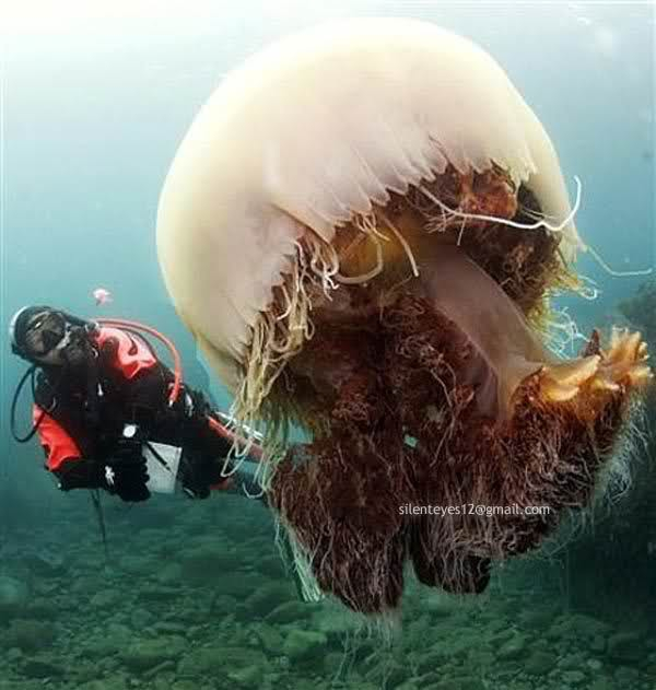 World's 10 Most Beautiful Jellyfish.