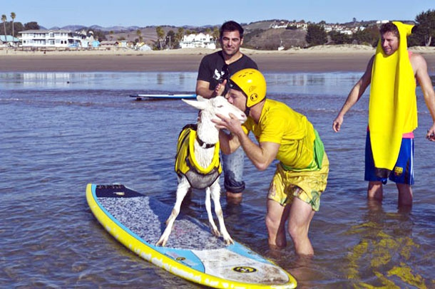 Goatee: The Incredibly Awesome Surfing Goat