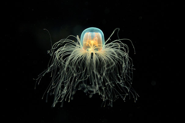 Immortal Jellyfish: The Only Known Species Known to Live Forever