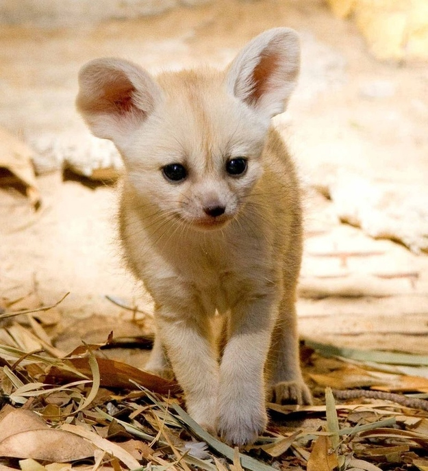 These Baby Fennec Foxes Will Make Your Heart Explode
